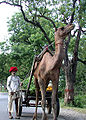 Camel-Cart-Mount-Abu.jpg